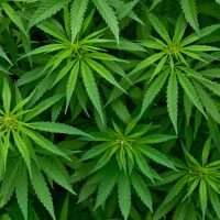 Monmouth County NJ Marijuana Defense Lawyers